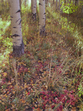 Aspen Tree Trunks and Leave Petals in Autumn Photographic Print by  Greg