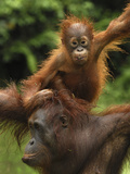 Orangutan (Pongo Pygmaeus) Female with Baby, Camp Leaky, Tanjung Puting Nat'l Park, Indonesia Photographic Print by Thomas Marent/Minden Pictures