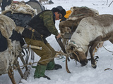 A Komi Reindeer Herder Saws Off an Antler before it Drops in Spring Photographic Print by Gordon Wiltsie
