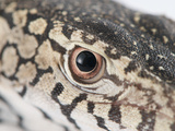 Close Up of a Perentie Lizard Eye and Surrounding Scales Photographic Print by Brooke Whatnall