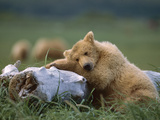 Grizzly Bear (Ursus Arctos Horribilis) Juvenile Sleeping on Driftwood, Katmai Nat'l Park, Alaska Photographic Print by Suzi Eszterhas/Minden Pictures