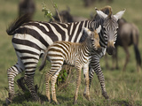 Burchell's Zebra (Equus Burchellii) Mother and Foal, Masai Mara, Kenya Photographic Print by Suzi Eszterhas/Minden Pictures