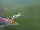 Red-Eyed Tree Frog (Agalychnis Callidryas) Eyeing Bee Fly (Bombyliidae) Costa Rica Photographic Print by Tim Fitzharris/Minden Pictures