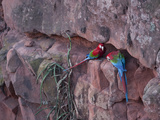 Pair of Green-Winged Macaw Nestled in Side of Rock Photographic Print by Roy Toft