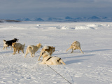 An Arctic Wolf Sees Just How Close He Can Get to Sled Dogs Photographic Print by Ben Horton