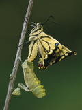 Swallowtail (Papilio Machaon) Emerged from Chrysalis, Switzerland Photographic Print by Thomas Marent/Minden Pictures