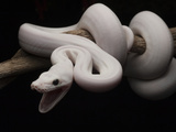 Reticulated Python (Python Reticulatus), Leucistic, in Defensive Position, Jakarta, Indonesia Photographic Print by Ch'len Lee/Minden Pictures