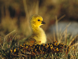 Canada Goose (Branta Canadensis) Gosling, Churchill, Manitoba, Canada Photographic Print by Tom Vezo/Minden Pictures