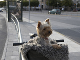 Small Dog in Bicycle Basket Photographic Print by  Keenpress