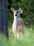 Young Male White-Tailed Deer in a Meadow with Summer Wildflowers Photographic Print by Roy Toft