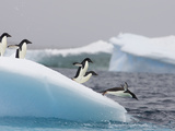 Adelie Penguin (Pygoscelis Adeliae) Diving Off Iceberg, Paulet Island, Antarctica Photographic Print by Suzi Eszterhas/Minden Pictures
