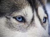 The Wolf-Like Stare of a Siberian Husky Sled Dog with Very Blue Eyes Fotografie-Druck von Jason Edwards