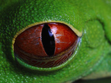 Red-Eyed Tree Frog (Agalychnis Callidryas) Eye with Retracting Nictitating Membrane Photographic Print by Christian Ziegler/Minden Pictures