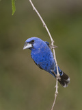 Blue Grosbeak (Guiraca Caerulea) Male Perched on a Branch, Rio Grande Valley, Texas Photographic Print by Tom Vezo/Minden Pictures