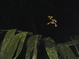 Misfit Leaf Frog (Agalychnis Saltator) Parachuting from the Canopy to the Forest Floor Photographic Print by Christian Ziegler/Minden Pictures