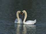 Mute Swan (Cygnus Olor) Pair Courting, Switzerland Photographie par Thomas Marent/Minden Pictures