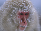 Japanese Macaque (Macaca Fuscata) Portrait, Joshinetsu Plateau Nat'l Park, Japan Photographic Print by Ingo Arndt/Minden Pictures