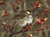 White-Throated Sparrow (Zonotrichia Albicollis) Perched in Bittersweet Bush, Long Island, New York Photographic Print by Tom Vezo/Minden Pictures