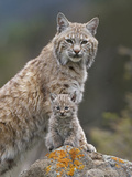 Bobcat (Lynx Rufus) Mother and Kitten, North America Photographic Print by Tim Fitzharris/Minden Pictures