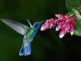 Green Violet-Ear (Colibri Thalassinus) Hummingbird and Flowers (CavendishiaComplectens), Costa Rica Photographic Print by Michael and Patricia Fogden/Minden Pictures