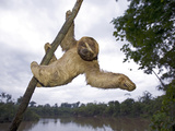 Brown-Throated Three-Toed Sloth (Bradypus Variegatus) Hanging in Tree, Amazon, Peru Photographic Print by Ingo Arndt/Minden Pictures