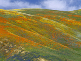 California Poppy (Eschscholzia Californica) Hillside, Tehachapi Hills Near Gorman, California Photographic Print by Tim Fitzharris/Minden Pictures