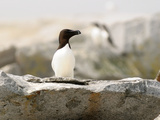 A Razorbill Sitting on a Rock on Machias Seal Island Photographie par Darlyne A. Murawski