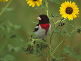 Rose-Breasted Grosbeak (Pheucticus Ludovicianus) Male, Rio Grande Valley, Texas Photographic Print by Tom Vezo/Minden Pictures