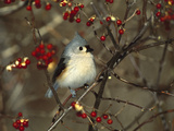Tufted Titmouse (Parus Bicolor) Perching in Tree, Long Island, New York Photographic Print by Tom Vezo/Minden Pictures