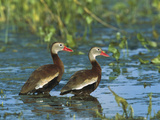 Black-Bellied Whistling Duck (Dendrocygna Autumnalis) Pair Wading, Rio Grand Valley, Texas Photographic Print by Tom Vezo/Minden Pictures