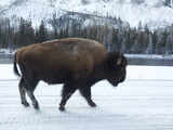 A Bison Walking in the Snow in Yellowstone National Park Photographic Print by Mark Thiessen