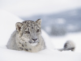 Snow Leopard (Uncia Uncia) Adult Portrait in Snow, Endangered Fotografisk tryk af Tim Fitzharris/Minden Pictures