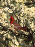 Northern Cardinal (CardinalisCardinalis) in Beach Plum (PrunusMaritima) Tree, Long Island, New York Photographic Print by Tom Vezo/Minden Pictures