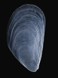 Sem Close-Up View of Mediterranean Mussel (Mytilus Galloprovincialis) at 10X Magnification Photographic Print by Albert Lleal/Minden Pictures