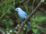 Blue-Gray Tanager (Thraupis Episcopus) Perched in a Tree, Costa Rica Photographic Print by Tom Vezo/Minden Pictures