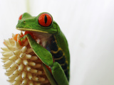 Red-Eyed Tree Frog (Agalychnis Callidryas) Portrait, La Selva, Costa Rica Photographic Print by Christian Ziegler/Minden Pictures