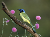 Green Jay (Cyanocorax Yncas) Perching, Rio Grande Valley, Texas Fotografie-Druck von Tom Vezo/Minden Pictures