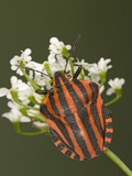 Red and Black Striped Stink Bug (Graphosoma Lineatum) Portrait, Heteroptera Suborder, Europe Photographic Print by Ingo Arndt/Minden Pictures