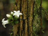 Flowers Growing Out a Branch, Danum Valley Conservation Area, Borneo, Malaysia Photographic Print by Thomas Marent/Minden Pictures