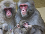 Portrait of a Japanese Macaque, Macaca Fuscata, Family Photographic Print by Joe Petersburger