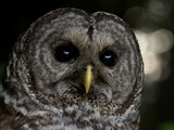 A Rescued Barred Owl Released in Prairie Creek State Park Photographic Print by Michael Nichols