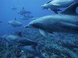 Bottlenose Dolphin (Tursiops Truncatus) Pod Swimming over Coral Reef, Ogasawara Island, Japan Photographic Print by Hiroya Minakuchi/Minden Pictures