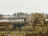 A Reindeer Cow with Her Newborn Calf on Tundra Lichens and Moss Photographic Print by Gordon Wiltsie