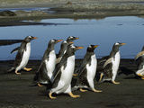 Gentoo Penguin (Pygoscelis Papua) Group Walking, Falkland Islands Photographic Print by Hiroya Minakuchi/Minden Pictures