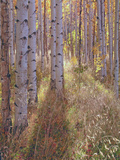 Grove of Aspen Trees at Sunset Photographic Print by  Greg