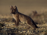 An Arctic Fox Pup (Alopex Lagopus) on the Canadian Tundra in Summer Lámina fotográfica por Norbert Rosing