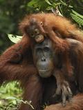 Orangutan (Pongo Pygmaeus) Female with Baby, Camp Leaky, Tanjung Puting Nat'l Park, Indonesia Reproduction photographique par Thomas Marent/Minden Pictures