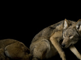 A pair of red wolves, Canis rufus gregoryi. One is resting. Photographic Print by Joel Sartore