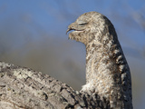 Portrait of a Great Potoo, Nyctibius Grandis Photographic Print by Roy Toft