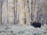 A Bull Moose on an Early Fall Morning in Grand Teton National Park Photographic Print by Drew Rush